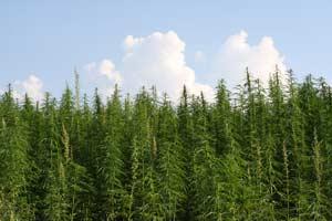 Hanffeld Cannabis
