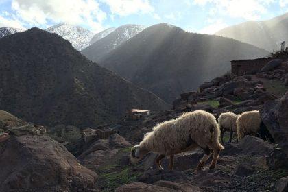 Trekking-Marokko-Schafe